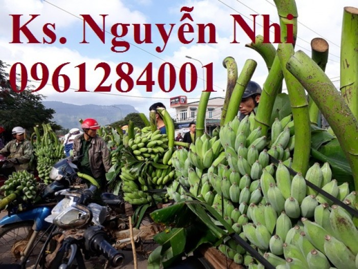 Chuyên cung cấp cây giống chuối tây thái, chuối mốc, chuối sứ, giao cây toàn quốc. LH 09612840014