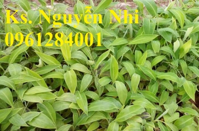 Chuyên cung cấp cây giống chuối tây thái, chuối mốc, chuối sứ, giao cây toàn quốc. LH 09612840013