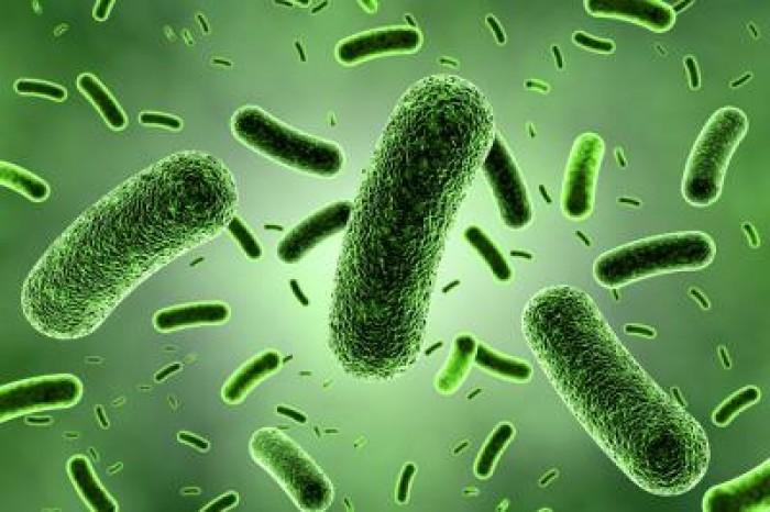 Bán nguyên liệu men vi sinh Bacillus subtilus, B. clausii ,B.coagulans1