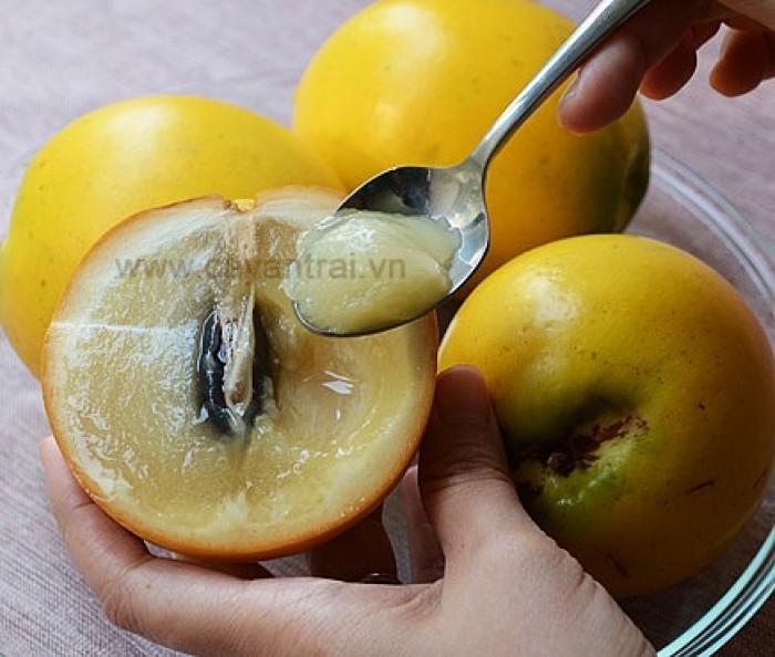Cây Vú Sữa Hoàng Kim (Vú sữa vàng) cây ghép0
