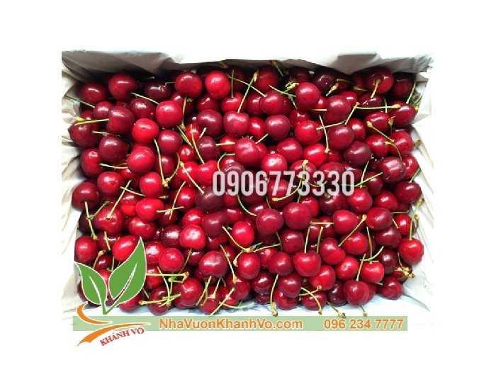 Cần bán cherry mỹ  giống và trưởng thành1