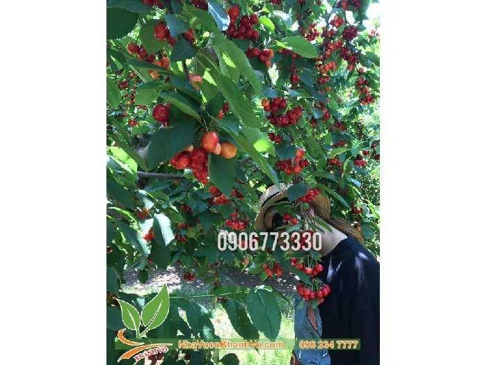 Cần bán cherry mỹ  giống và trưởng thành3