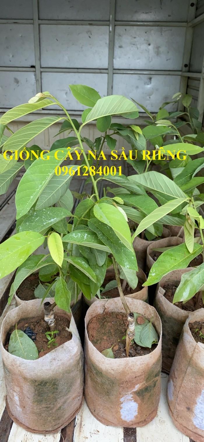 Cây giống na sầu riêng, na dứa Đài Loan, mãng cầu vị sầu riêng, chất lượng9