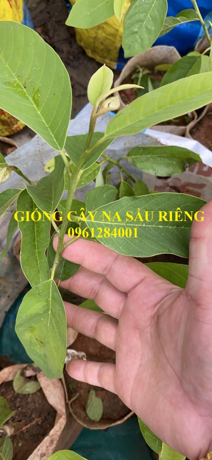 Cây giống na sầu riêng, na dứa Đài Loan, mãng cầu vị sầu riêng, chất lượng10
