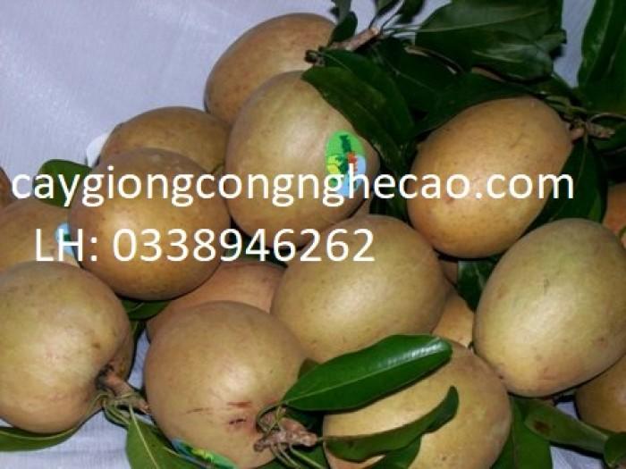 Cung cấp cây giống: Hồng Xiêm Xoài1