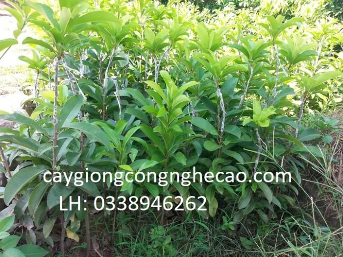 Cung cấp cây giống: Hồng Xiêm Xoài3