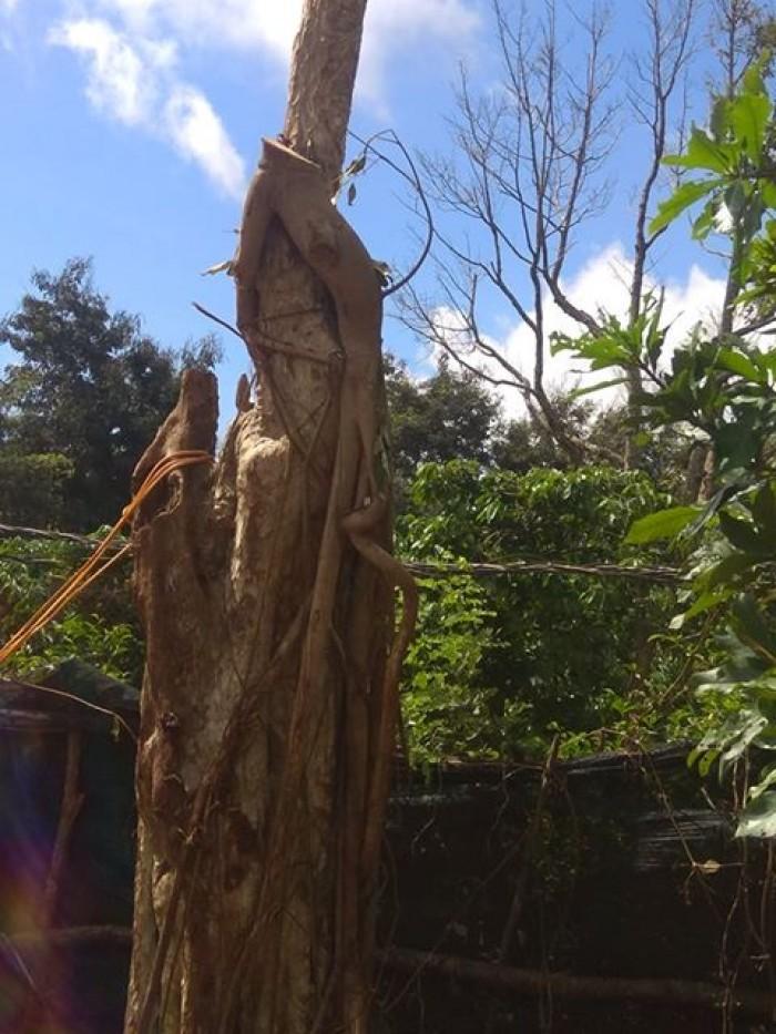 Cây bằng lăng rừng - Chư Sê, Gia Lai - Ảnh: 54