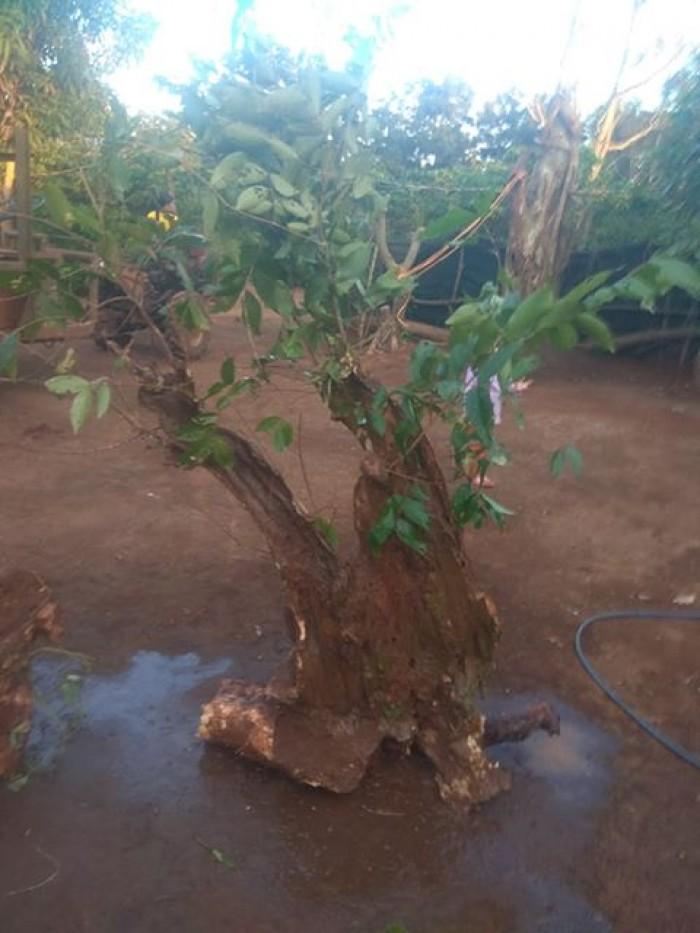 Cây bằng lăng rừng - Chư Sê, Gia Lai - Ảnh: 109