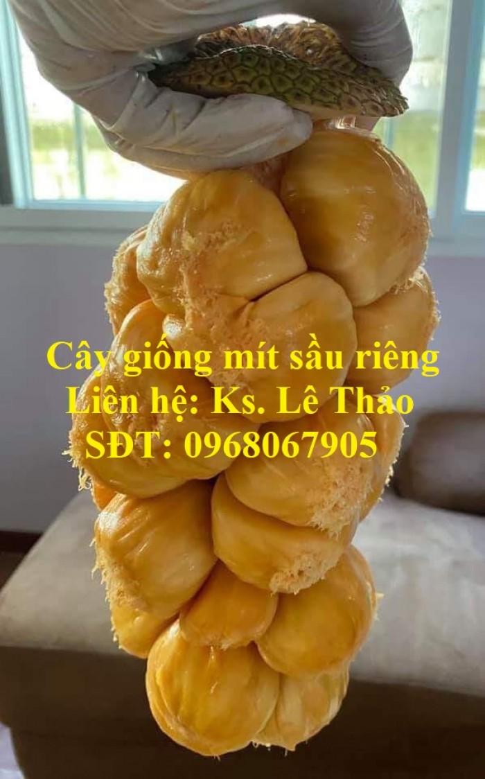Giống Mít Sầu Riêng, Bán Giống Mít Sầu Riêng Chuẩn 100%, F1. Hàng Cam Kết Giấ10