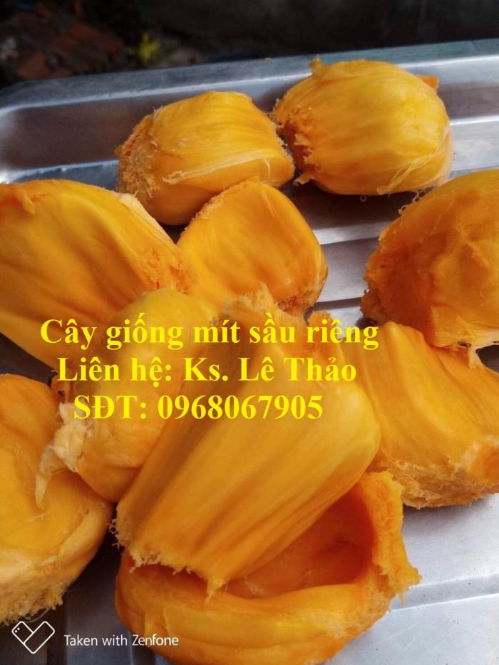 Giống Mít Sầu Riêng, Bán Giống Mít Sầu Riêng Chuẩn 100%, F1. Hàng Cam Kết Giấ15