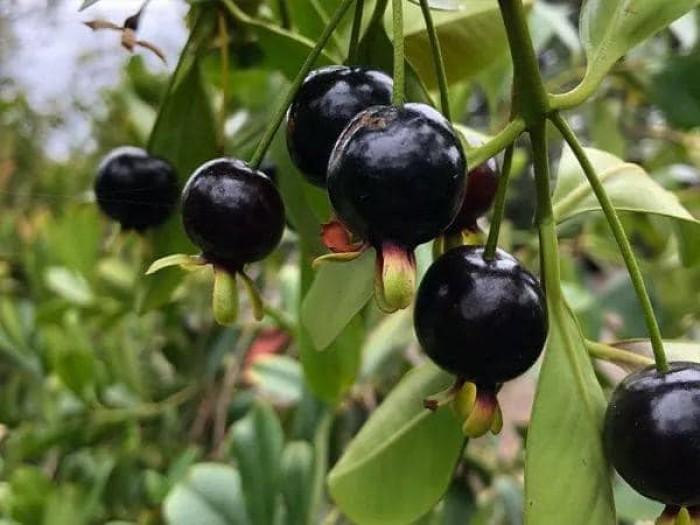 Giống cây cherry bazin chuẩn loại F1 !2