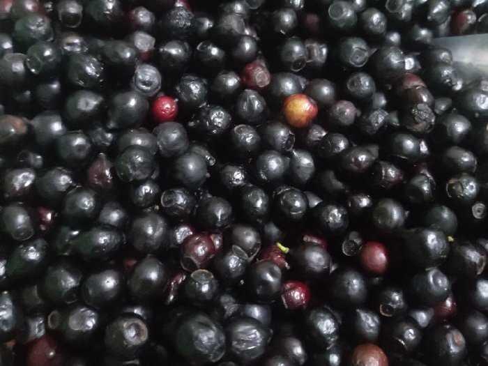 Bán hạt giống cây đàn hương trắng2