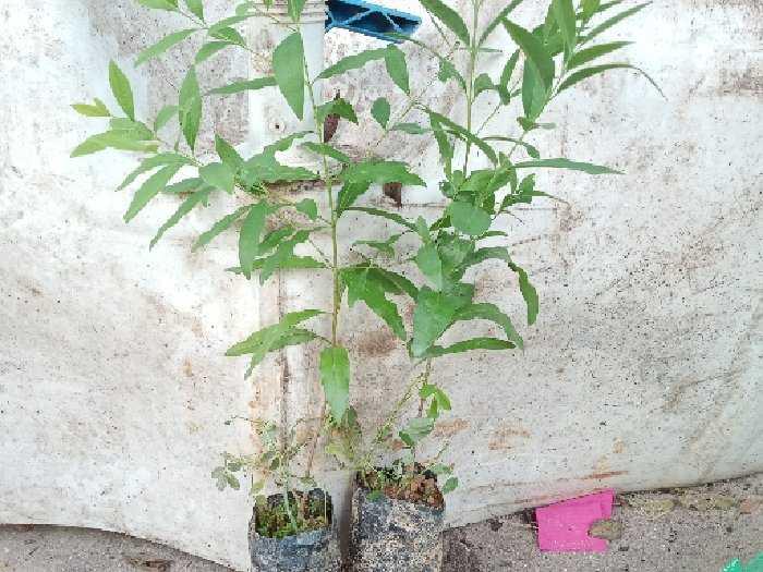 Bán hạt giống cây đàn hương trắng3