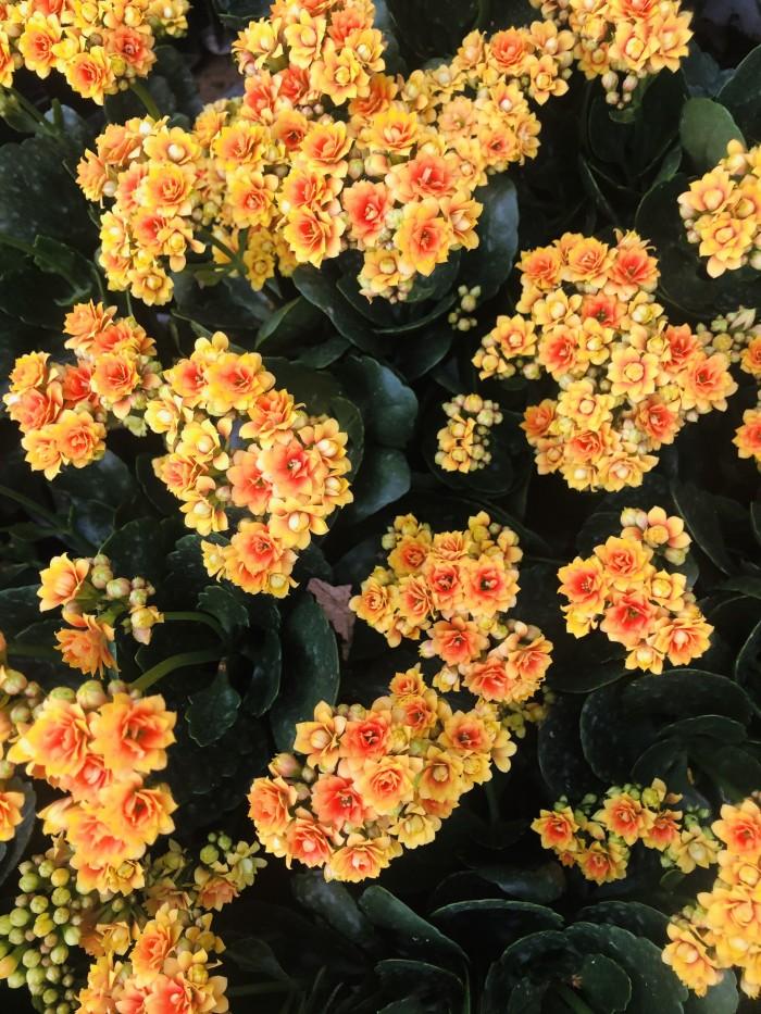 Cây giống hoa sống đời5