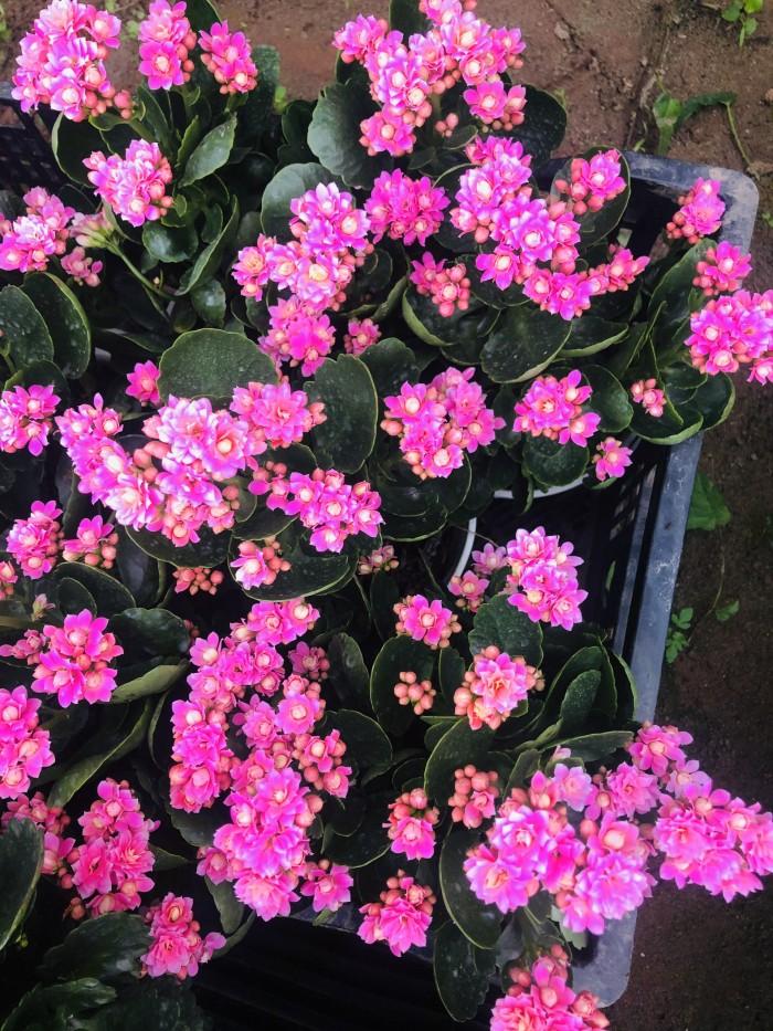 Cây giống hoa sống đời8