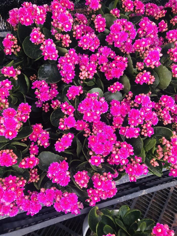 Cây giống hoa sống đời9
