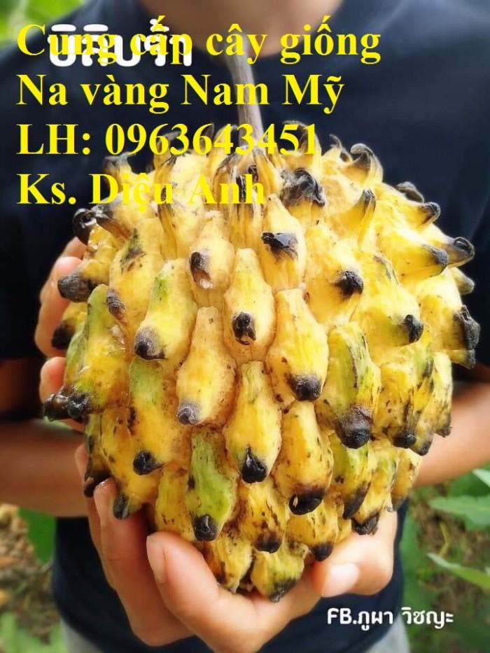 Cung cấp cây giống Na vàng Nam Mỹ, na vỏ vàng Rollinia nhập khẩu chuẩn, uy tí0