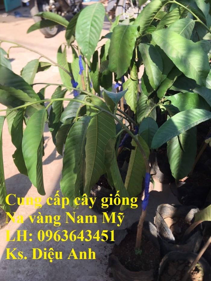 Cung cấp cây giống Na vàng Nam Mỹ, na vỏ vàng Rollinia nhập khẩu chuẩn, uy tí4
