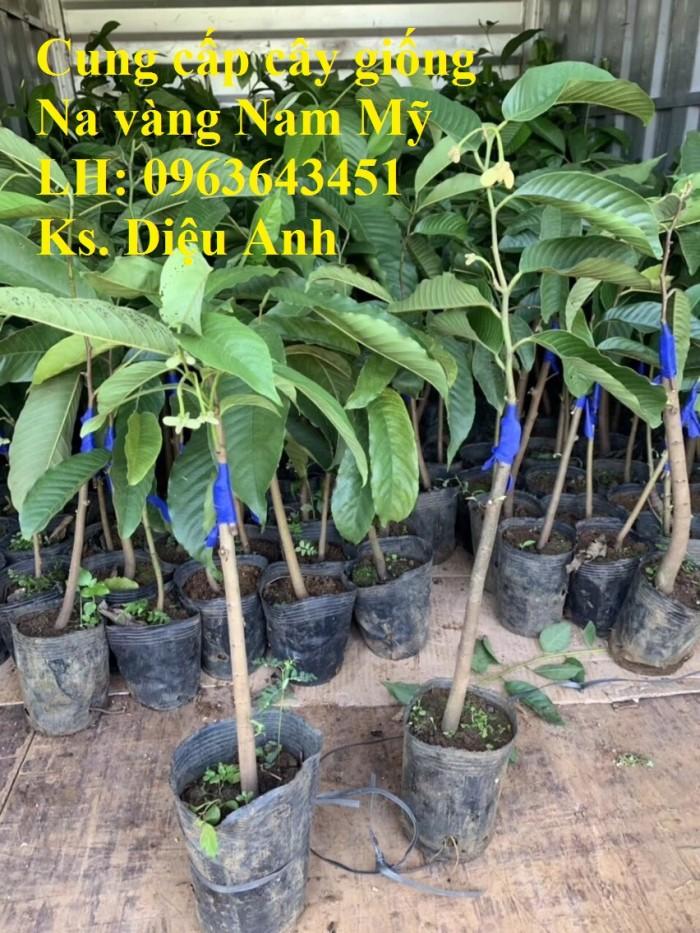 Cung cấp cây giống Na vàng Nam Mỹ, na vỏ vàng Rollinia nhập khẩu chuẩn, uy tí3