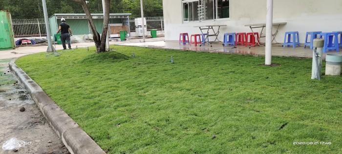 Cỏ nhung nhật cỏ trang trí cảnh quan