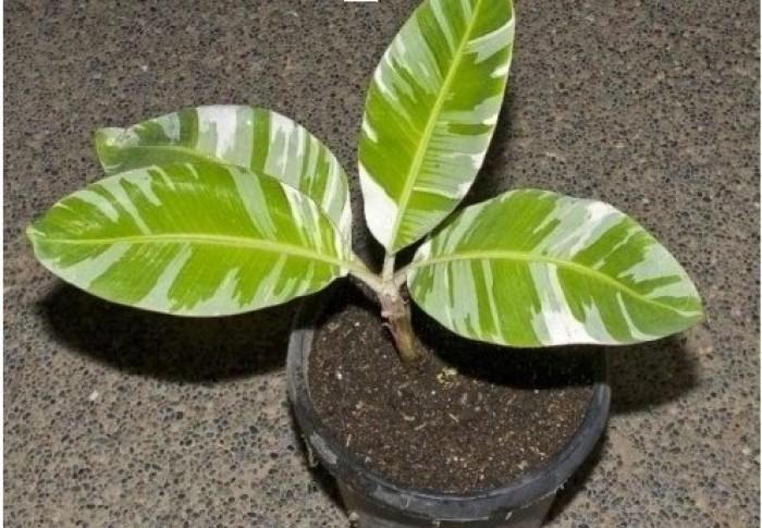 Cung cấp cây giống mít sầu riêng, giống cây mít tố nữ sầu riêng nhập khẩu chu0