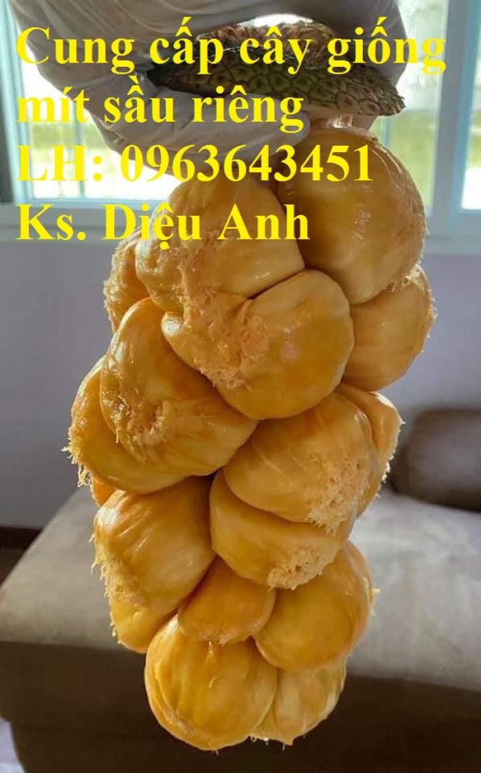 Cung cấp cây giống mít sầu riêng, giống cây mít tố nữ sầu riêng nhập khẩu chu1
