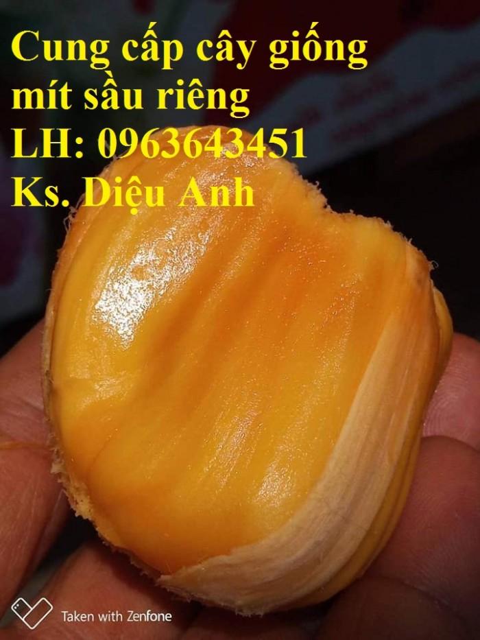 Cung cấp cây giống mít sầu riêng, giống cây mít tố nữ sầu riêng nhập khẩu chu4