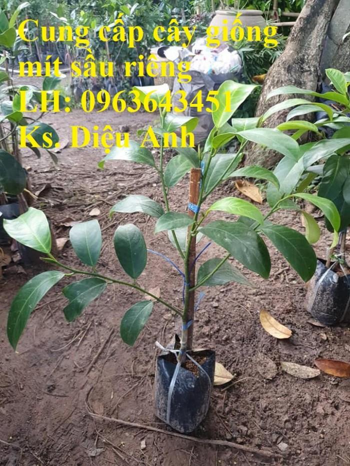 Cung cấp cây giống mít sầu riêng, giống cây mít tố nữ sầu riêng nhập khẩu chu6