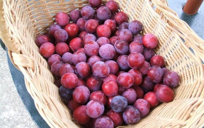 Cung cấp cây giống mận trứng Mexico, cây giống mận đỏ nhập khẩu uy tín, chất0