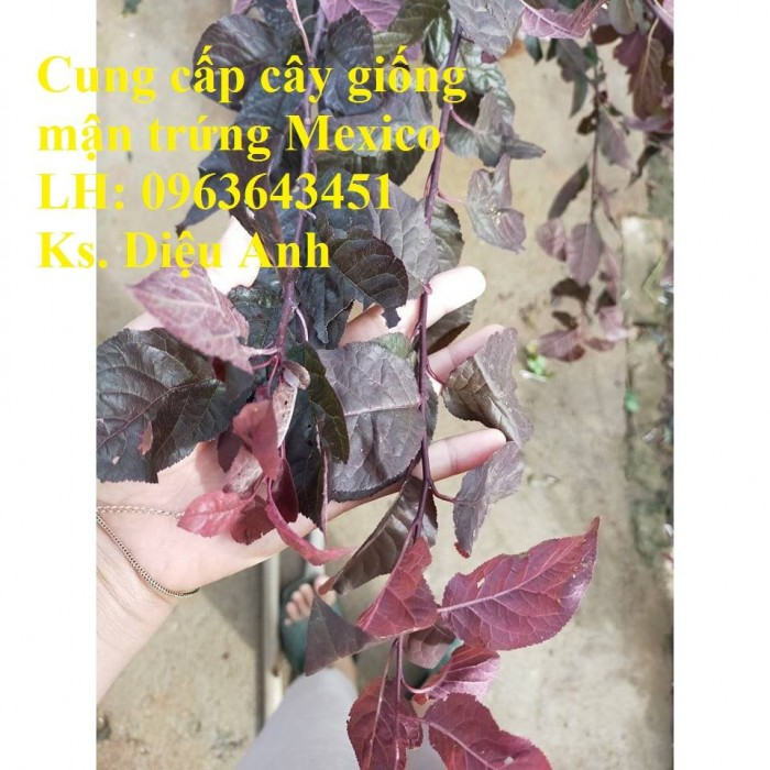 Cung cấp cây giống mận trứng Mexico, cây giống mận đỏ nhập khẩu uy tín, chất2