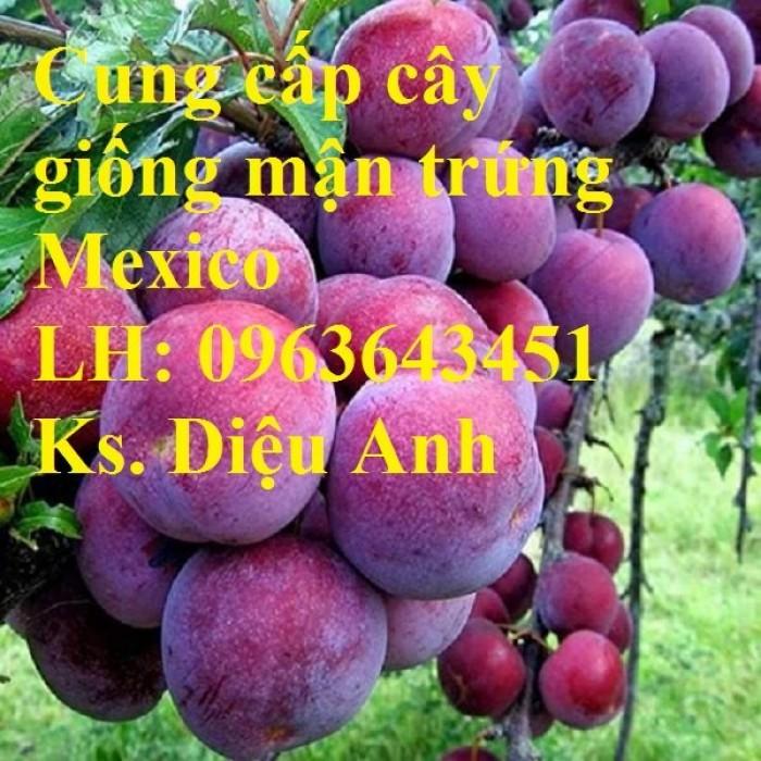 Cung cấp cây giống mận trứng Mexico, cây giống mận đỏ nhập khẩu uy tín, chất3