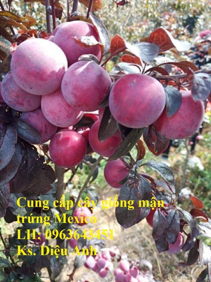 Cung cấp cây giống mận trứng Mexico, cây giống mận đỏ nhập khẩu uy tín, chất4
