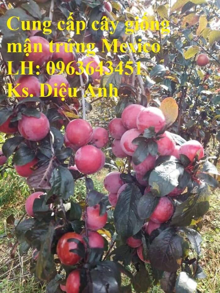 Cung cấp cây giống mận trứng Mexico, cây giống mận đỏ nhập khẩu uy tín, chất5