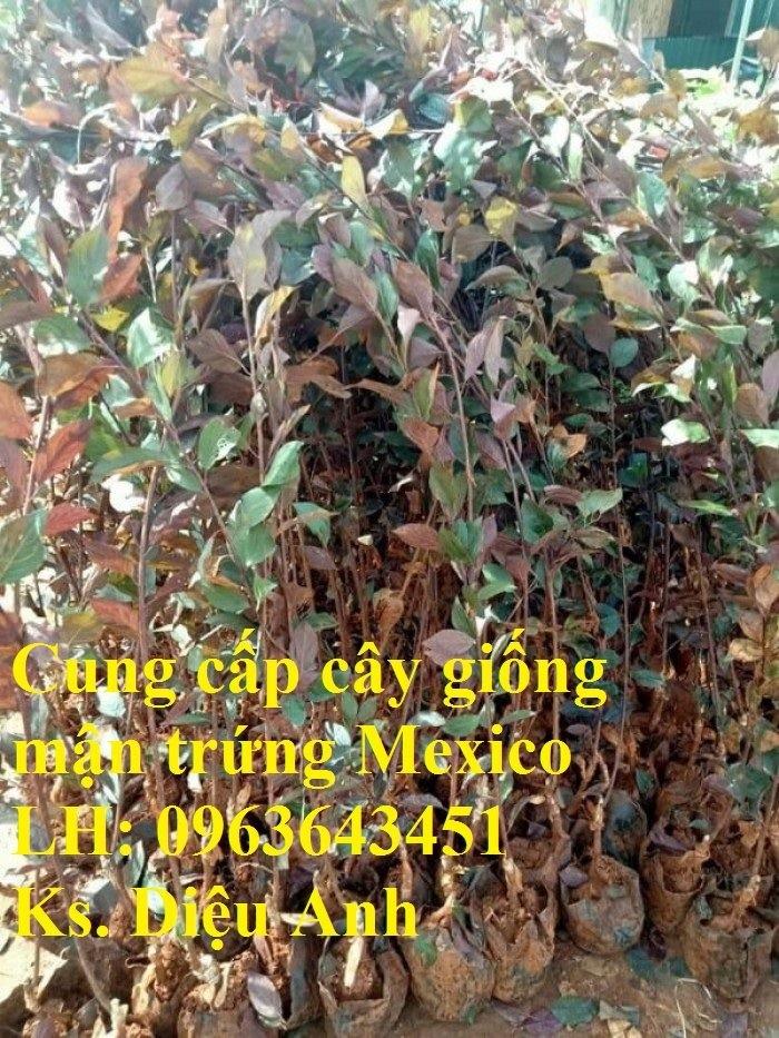 Cung cấp cây giống mận trứng Mexico, cây giống mận đỏ nhập khẩu uy tín, chất7