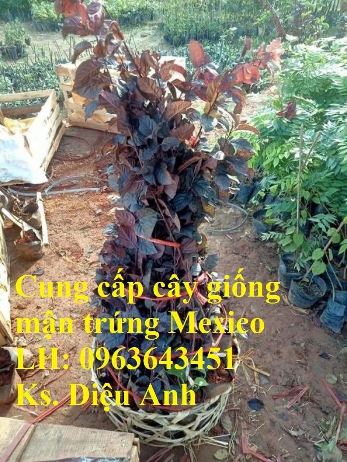 Cung cấp cây giống mận trứng Mexico, cây giống mận đỏ nhập khẩu uy tín, chất6