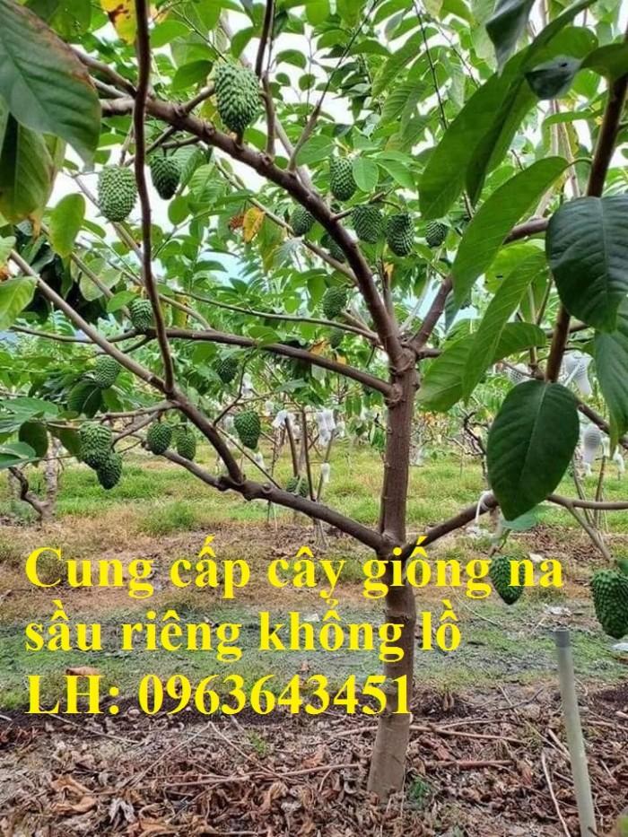 Cung cấp cây giống na sầu riêng khổng lồ nhập khẩu chuẩn, uy tín, giao toàn6