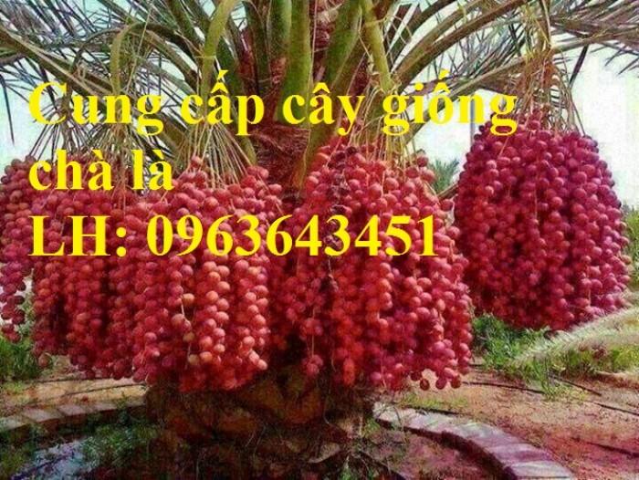 Cung cấp cây giống chà là đỏ, cây giống chà là vàng, chà là cấy mô nhập khẩu1