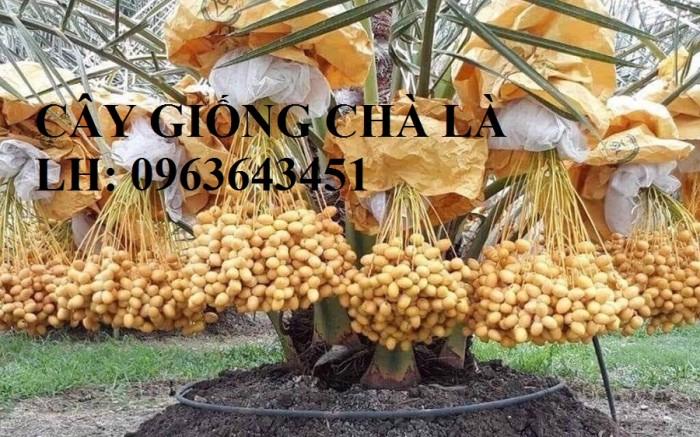 Cung cấp cây giống chà là đỏ, cây giống chà là vàng, chà là cấy mô nhập khẩu5