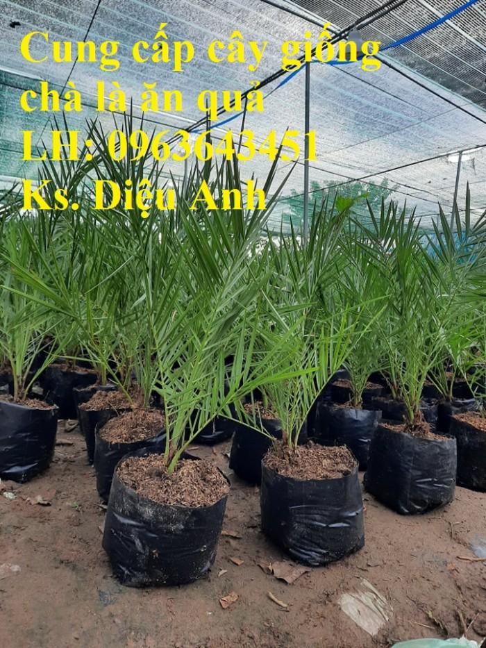Cung cấp cây giống chà là đỏ, cây giống chà là vàng, chà là cấy mô nhập khẩu7