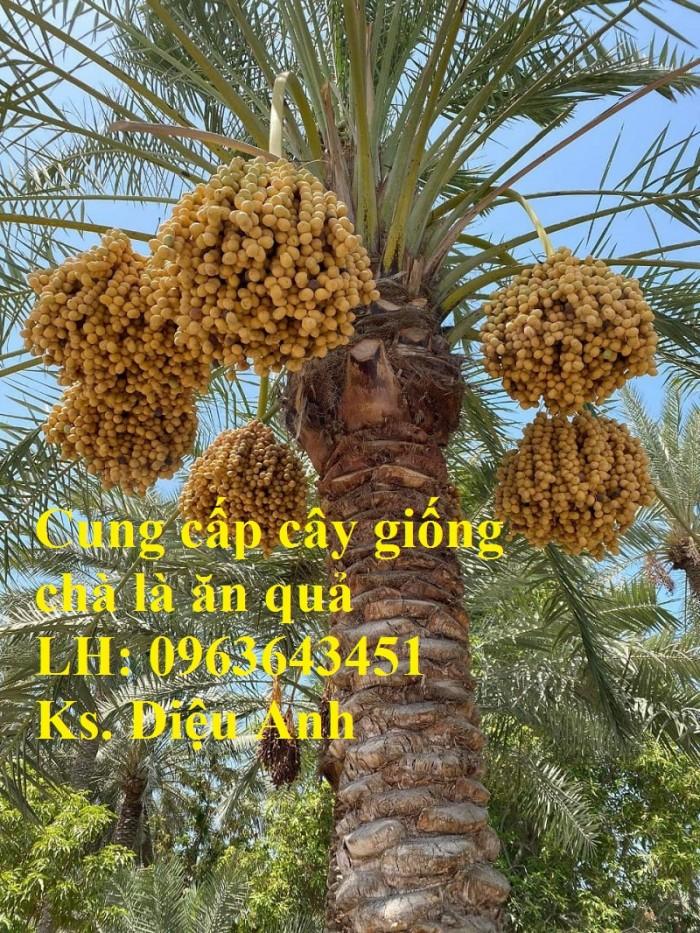 Cung cấp cây giống chà là đỏ, cây giống chà là vàng, chà là cấy mô nhập khẩu13