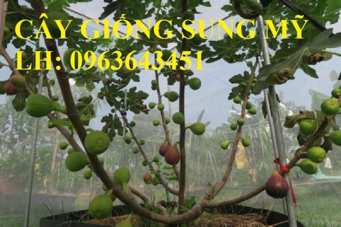 Địa chỉ cung cấp cây giống sung Mỹ, giống sung Mỹ Camy chiết cành chuẩn, số l2