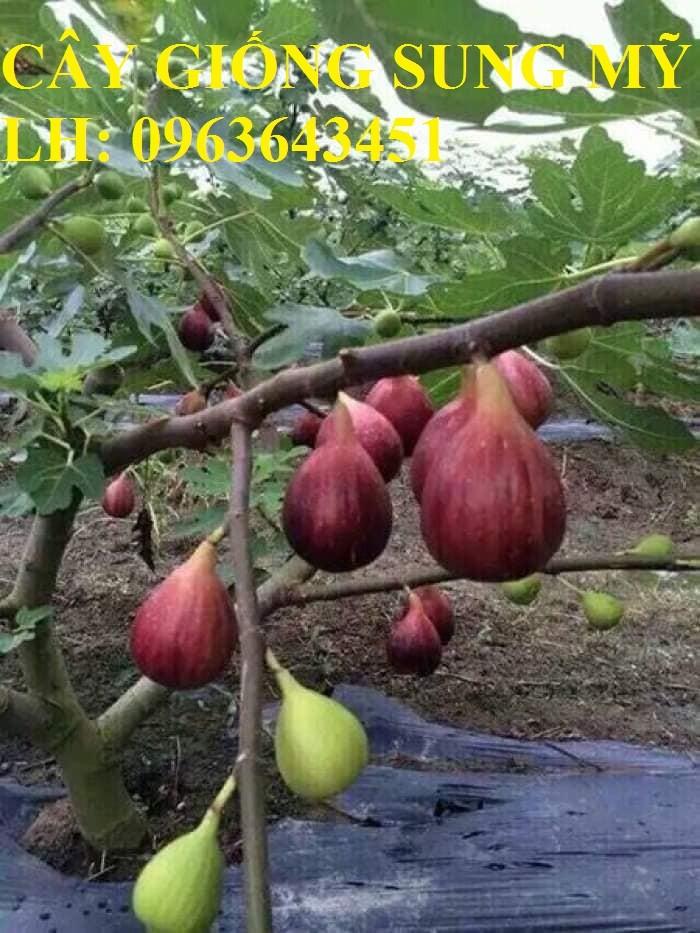 Địa chỉ cung cấp cây giống sung Mỹ, giống sung Mỹ Camy chiết cành chuẩn, số l7