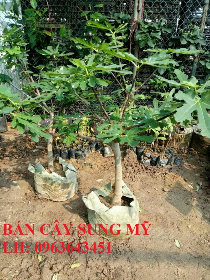 Địa chỉ cung cấp cây giống sung Mỹ, giống sung Mỹ Camy chiết cành chuẩn, số l8