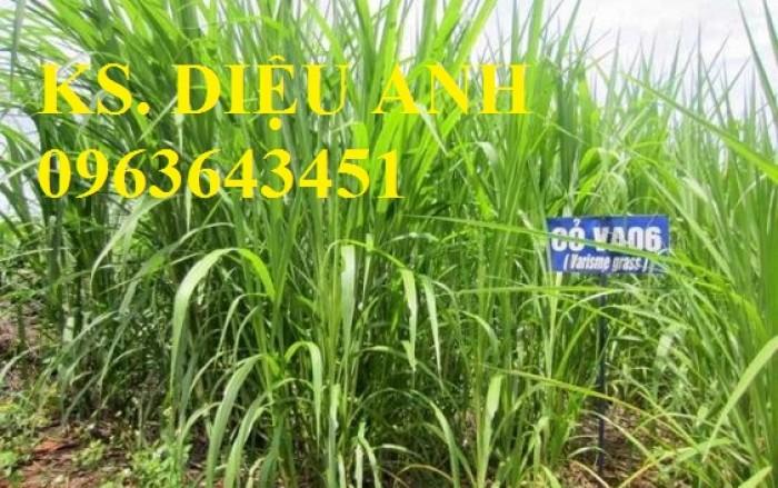 Chuyên giống cỏ chăn nuôi: Cỏ VA06, cỏ ghine, cỏ chịu ngập chịu mặn,cỏ voi, ả0