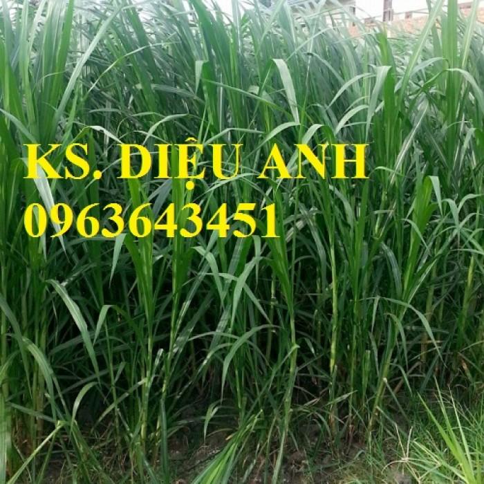 Chuyên giống cỏ chăn nuôi: Cỏ VA06, cỏ ghine, cỏ chịu ngập chịu mặn,cỏ voi, ả4