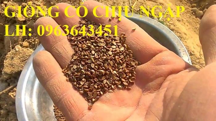 Chuyên giống cỏ chăn nuôi: Cỏ VA06, cỏ ghine, cỏ chịu ngập chịu mặn,cỏ voi, ả3