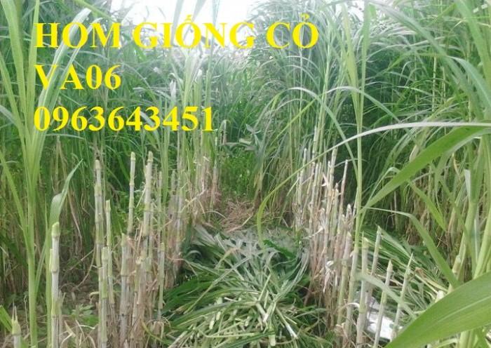 Chuyên giống cỏ chăn nuôi: Cỏ VA06, cỏ ghine, cỏ chịu ngập chịu mặn,cỏ voi, ả5