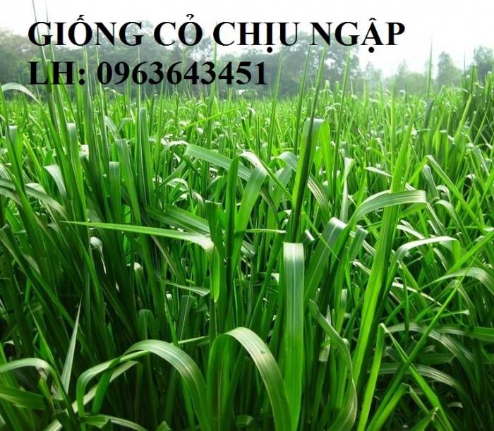 Chuyên giống cỏ chăn nuôi: Cỏ VA06, cỏ ghine, cỏ chịu ngập chịu mặn,cỏ voi, ả6