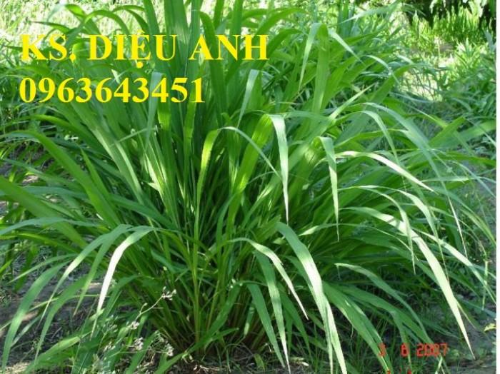 Chuyên giống cỏ chăn nuôi: Cỏ VA06, cỏ ghine, cỏ chịu ngập chịu mặn,cỏ voi, ả7