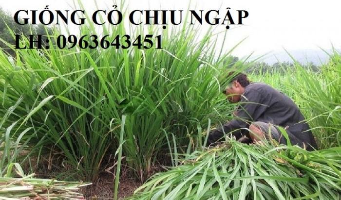 Chuyên giống cỏ chăn nuôi: Cỏ VA06, cỏ ghine, cỏ chịu ngập chịu mặn,cỏ voi, ả8